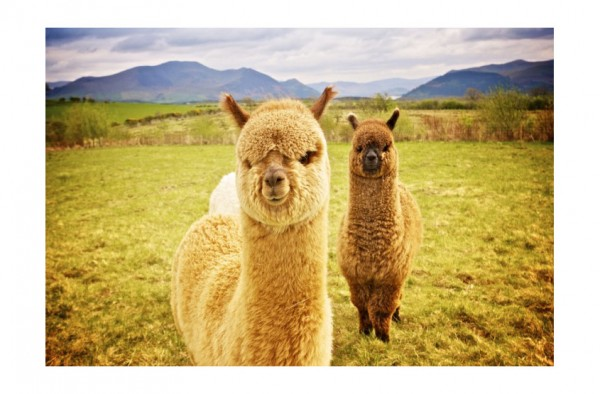 Alpaka & Lama Müsli (Lama E) 15 kg