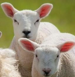 Lambs pellets 20 kg