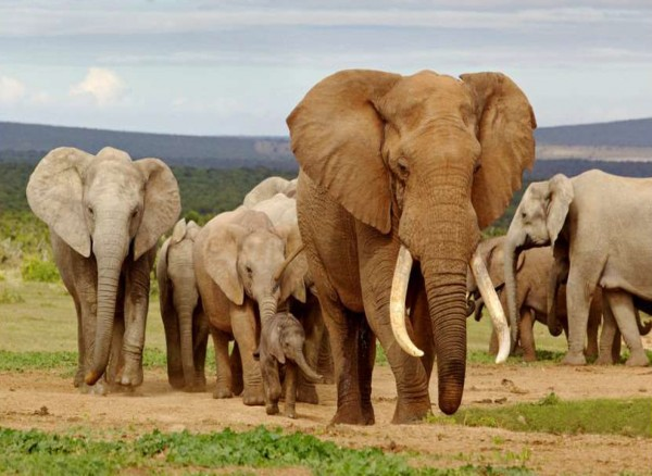 Elefanten Bricket 20 kg