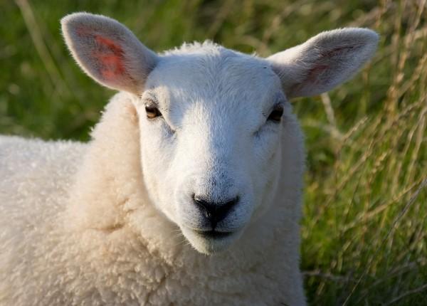 Sheep pellets 20 kg