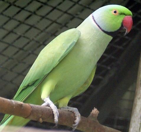 Big Parakeet seed 20 kg