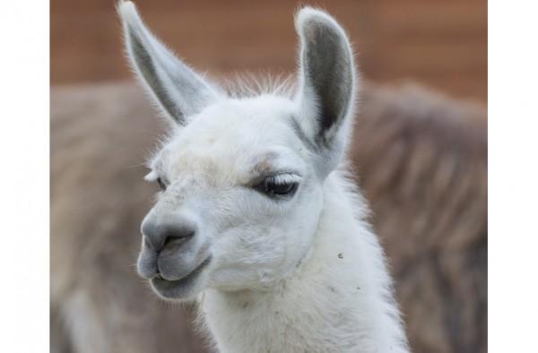 Alpaka & Lama Strukturmüsli 15 kg