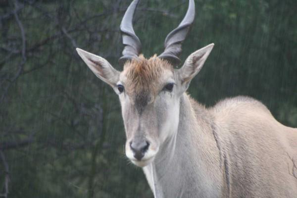Antilopem556d769ad6529