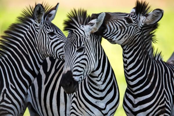 Zebra, Muntjaks & Tapire Strukturmüsli 15 kg