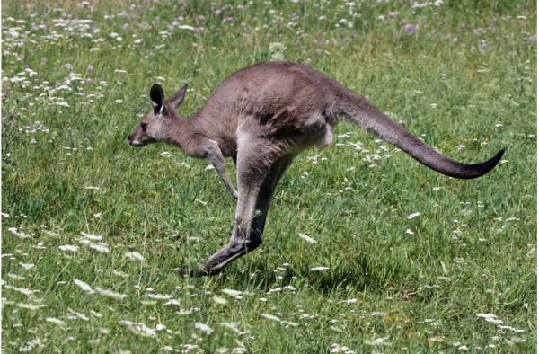 Känguru & Wallabier Premium Müsli 15 kg
