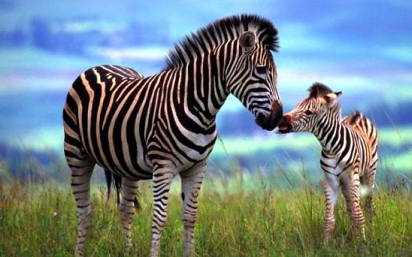 Zebras556d761f9cbab